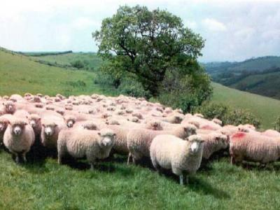 Flock of poll dorset sheep
