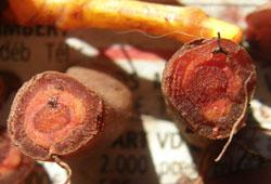 Madder Root Cross-section