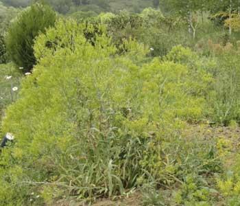 Woad plants